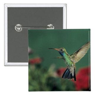 Broad-billed Hummingbird, Cynanthus Button