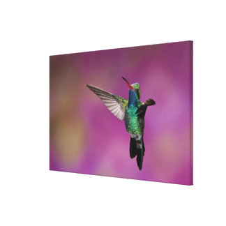 Broad-Billed Hummingbird Cynanthus Gallery Wrapped Canvas