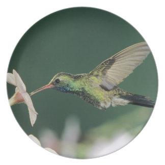 Broad-billed Hummingbird, Cynanthus latirostris, Dinner Plate