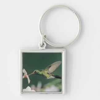 Broad-billed Hummingbird, Cynanthus latirostris, Keychain
