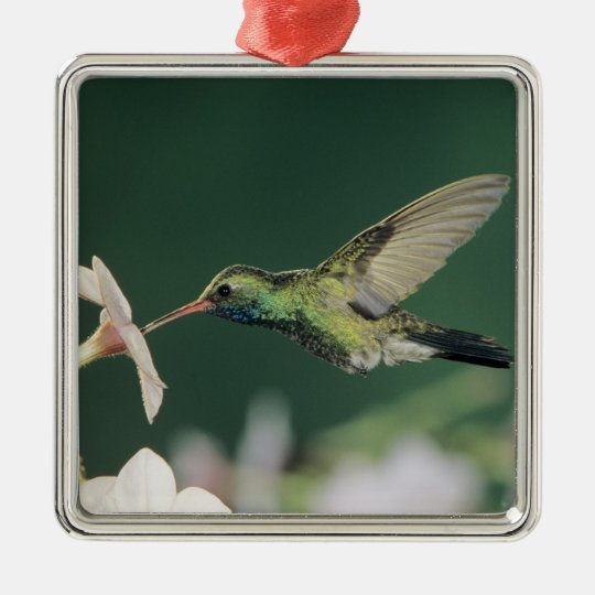 Broad-billed Hummingbird, Cynanthus latirostris, Metal Ornament