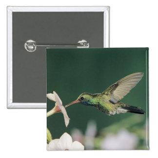 Broad-billed Hummingbird, Cynanthus latirostris, Pinback Button