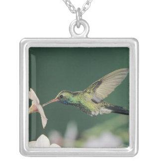 Broad-billed Hummingbird, Cynanthus latirostris, Silver Plated Necklace
