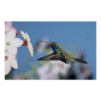 Broad-billed Hummingbird Cynanthus Posters