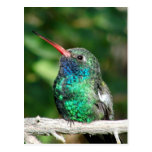 Broad-billed Hummingbird Post Card