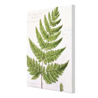 Broad Prickly-toothed Buckler Fern, painted at Bra Canvas Print