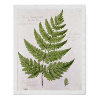 Broad Prickly-toothed Buckler Fern, painted at Bra Poster