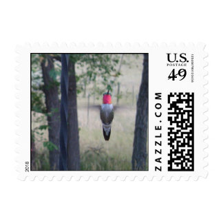 Broad-tailed Hummingbird in flight Postage Stamp