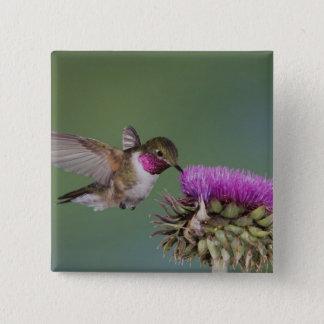 Broad-tailed Hummingbird, Selasphorus 2 Button