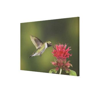 Broad-tailed Hummingbird, Selasphorus 2 Canvas Print