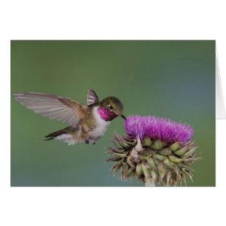 Broad-tailed Hummingbird, Selasphorus 2 Card