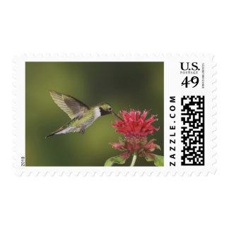 Broad-tailed Hummingbird, Selasphorus 2 Postage