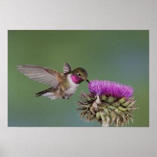 Broad-tailed Hummingbird, Selasphorus 2 Poster