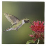 Broad-tailed Hummingbird, Selasphorus 2 Ceramic Tiles