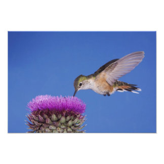 Broad-tailed Hummingbird, Selasphorus 3 Photo Print