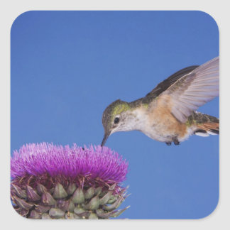 Broad-tailed Hummingbird, Selasphorus 3 Square Sticker