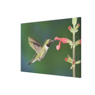 Broad-tailed Hummingbird, Selasphorus 4 Canvas Print