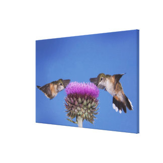Broad-tailed Hummingbird, Selasphorus Canvas Print