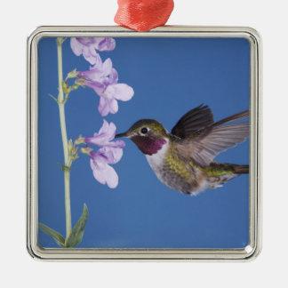 Broad-tailed Hummingbird, Selasphorus Ornaments