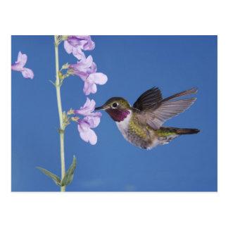 Broad-tailed Hummingbird, Selasphorus Postcard