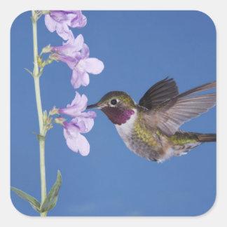 Broad-tailed Hummingbird, Selasphorus Stickers
