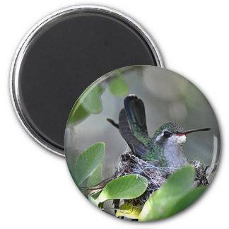 Broadbilled Hummingbird Nesting Refrigerator Magnets