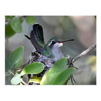 Broadbilled Hummingbird Nesting Postcard