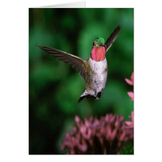 Broadtail Hummingbird Card