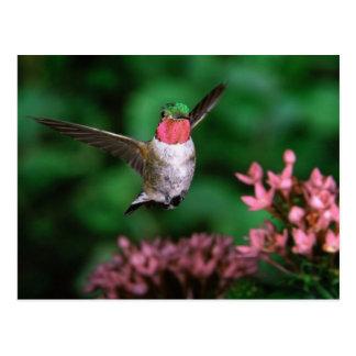 Broadtail Hummingbird Postcard