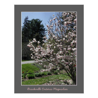 Brockville Ontario Magnolias  Posters