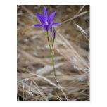 Brodiaea salvaje púrpura de FlowerElegant Tarjetas Postales