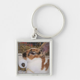Broken tri color mini rex rabbit head on waterer keychain