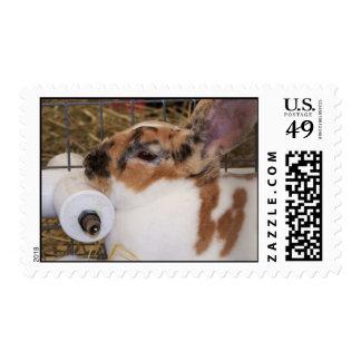 Broken tri color mini rex rabbit head on waterer postage stamp