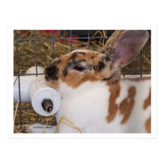 Broken tri color mini rex rabbit head on waterer postcard