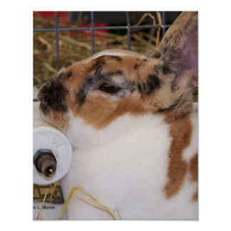Broken tri color mini rex rabbit head on waterer print