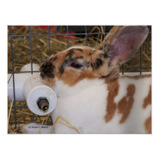 Broken tri color mini rex rabbit head on waterer posters