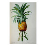 Bromelia Ananas, from 'Les Bromeliacees' Poster