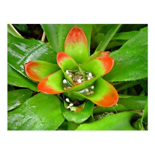 Bromeliaceae rojo y verde tarjetas postales