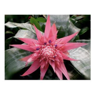 Bromeliad abigarrado rosado postal