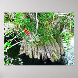 Bromeliad en el mangle, marismas de la Florida Póster