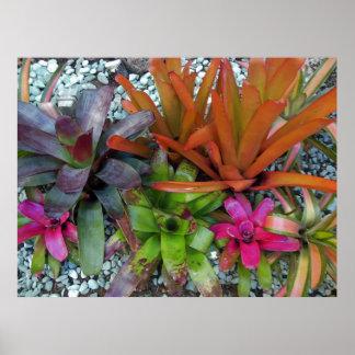 Bromeliads hawaiano póster