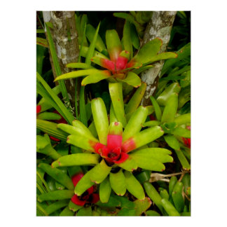 Bromeliads Posters