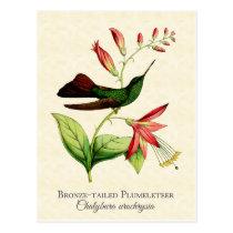Bronze Tailed Plumeleteer Hummingbird Vintage Art Postcard