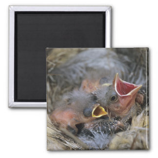 Bronzed Cowbird, Molothrus aeneus,young in 2 Inch Square Magnet