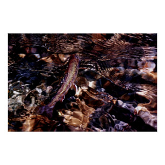 Brook Trout in River Poster