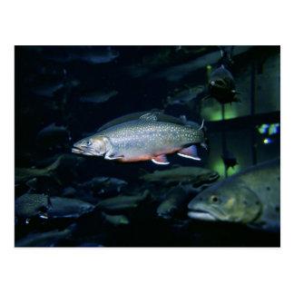 Brook trout postcard