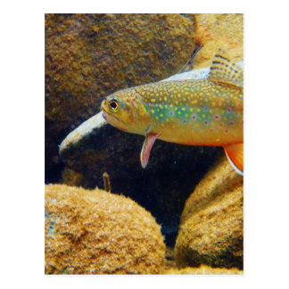 Brook Trout Postcard