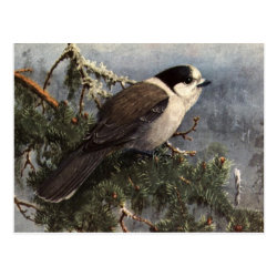 Postcard with Brooks' Gray Jay In Pine design
