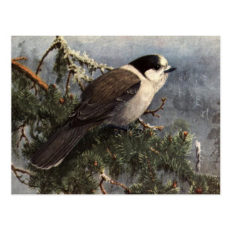 Brooks' Gray Jay in pine Postcard