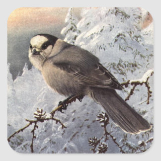 Brooks' Gray Jay in snow Square Sticker